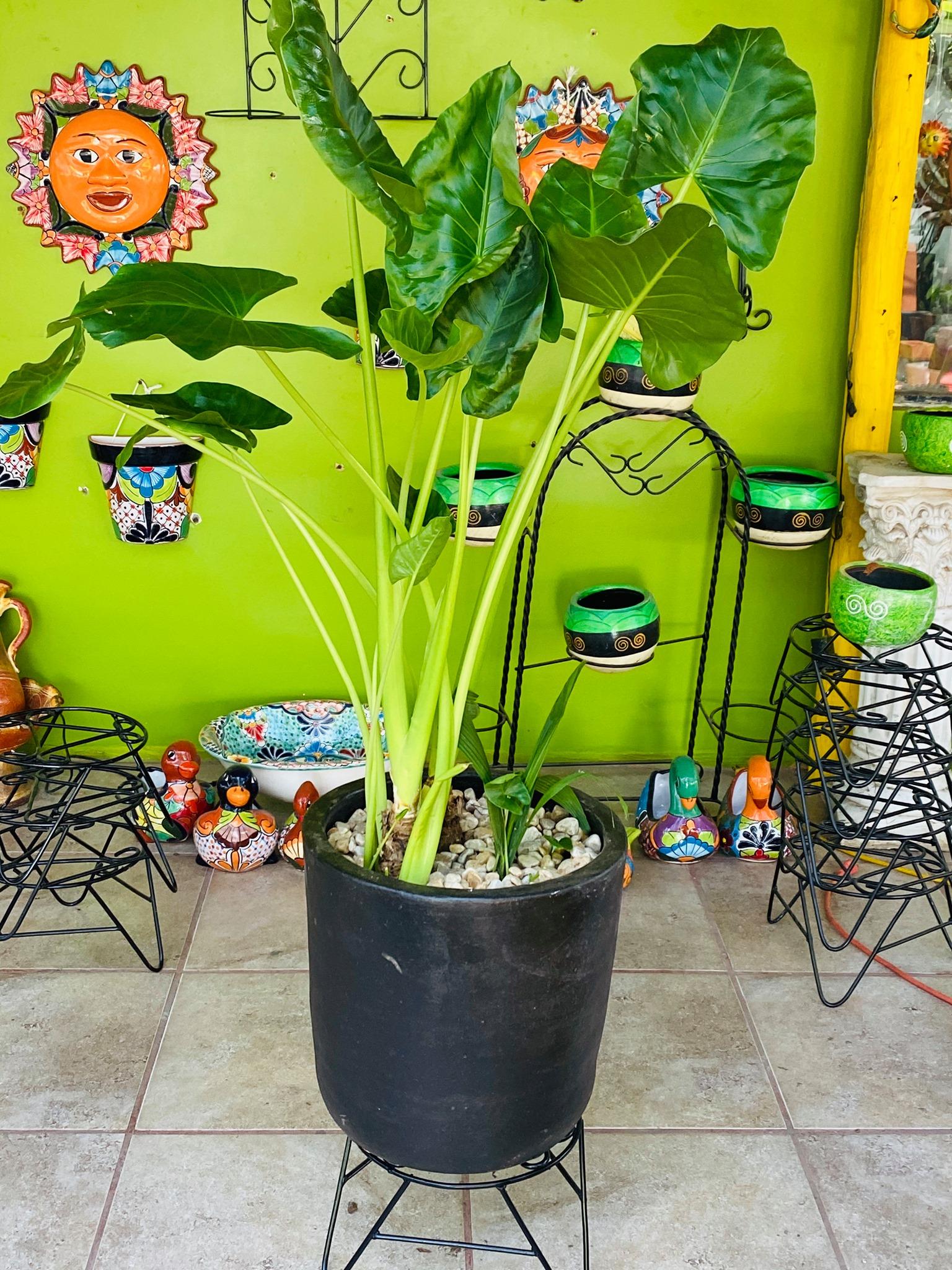 Plantas en Juarez
